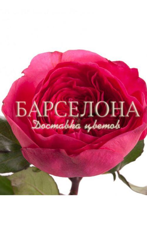 Пионовидная роза сорт Баронесса (Baronesse)