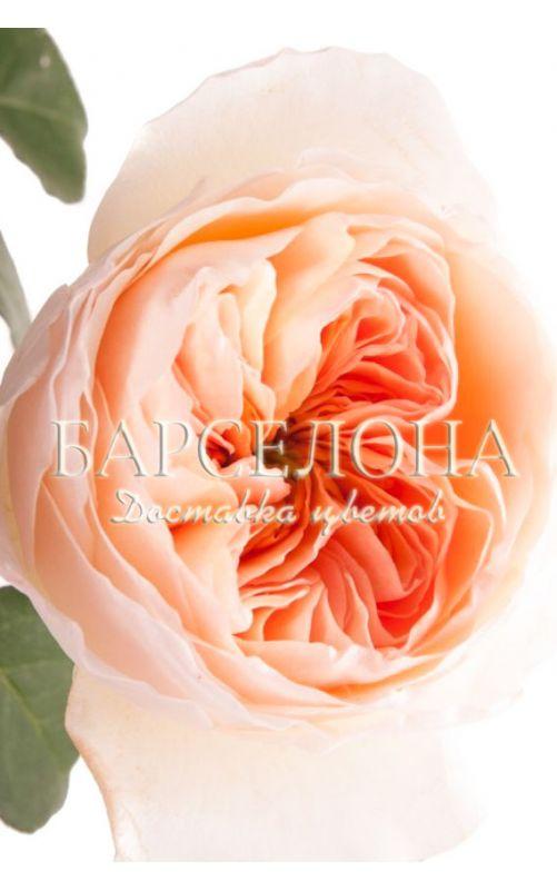 Букет из 11 роза Дэвида Остина Джулиет (Juliet)