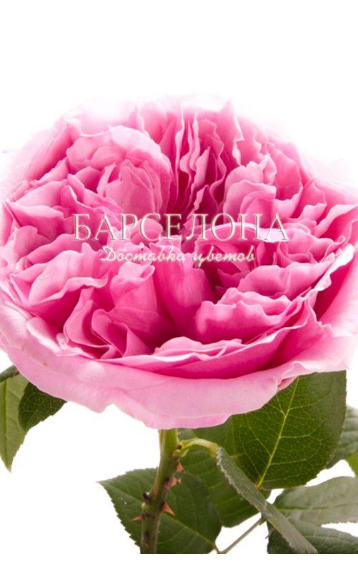 Букет из 23 пионовидных роз Дэвид Остин Миранда