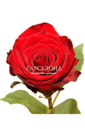 Красная роза Фридом 60 см. оптом
