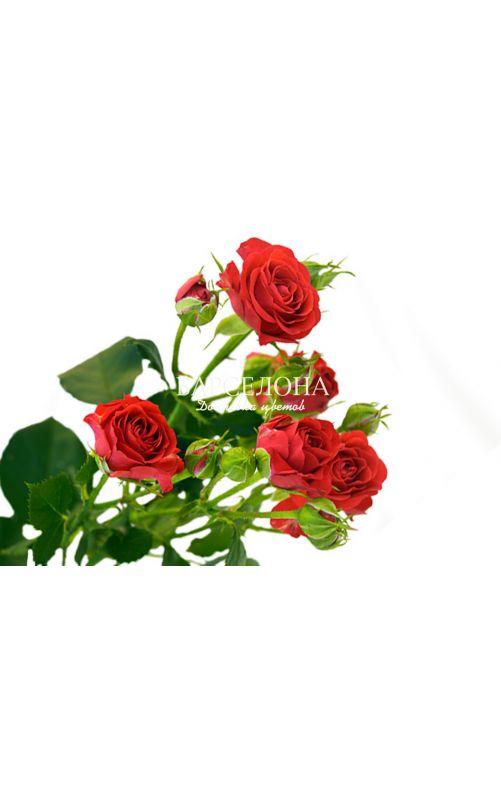 Красная кустовая роза
