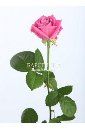 Розовая роза Аква 60 см. оптом