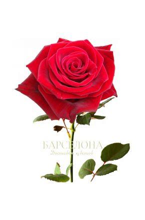 Красная роза Ред Наоми 60 см. оптом