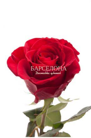 Красная роза Гран При 60 см. оптом