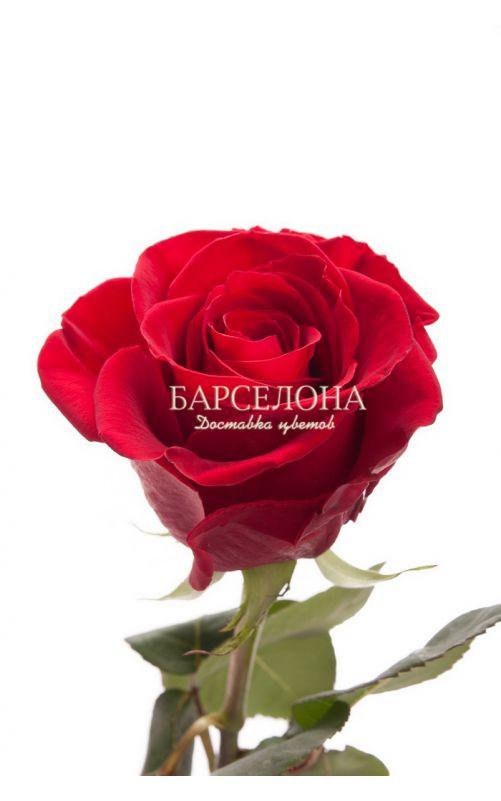 Красная роза сорта Гран При 60 см.