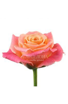 Роза Мисс Пигги 60 см. оптом