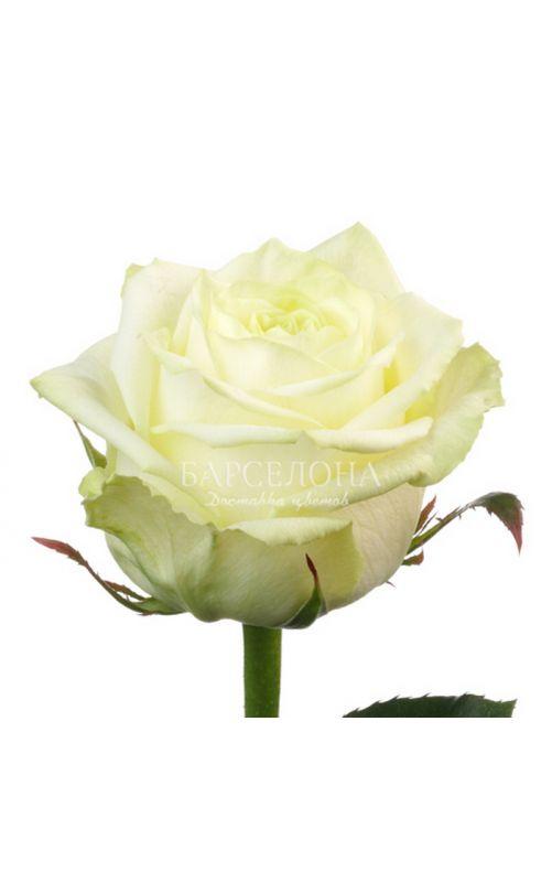 Белая роза 60 см.