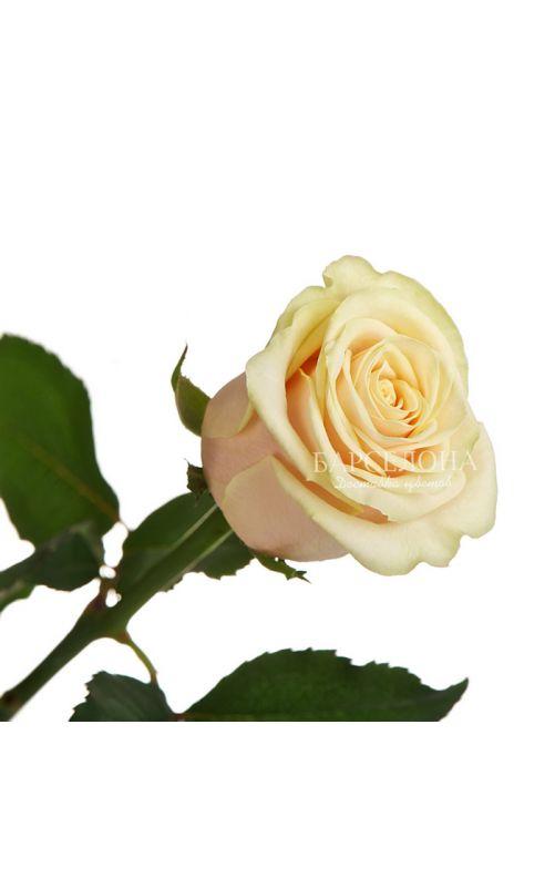 Кремовая роза  60 cм.