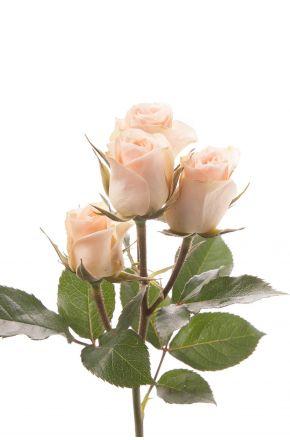 Кустовая роза кремовая