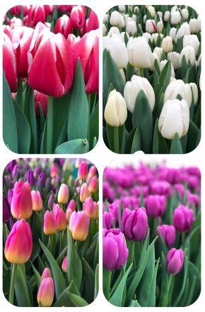 Тюльпаны россыпью от 300 шт.