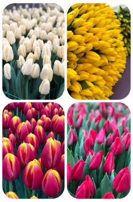 Тюльпаны россыпью от 200 шт.