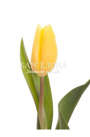 Желтый тюльпан оптом