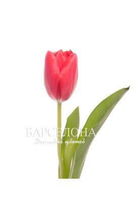 Красный тюльпан оптом