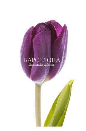 Фиолетовый тюльпан оптом