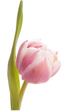Розово-белый тюльпан оптом