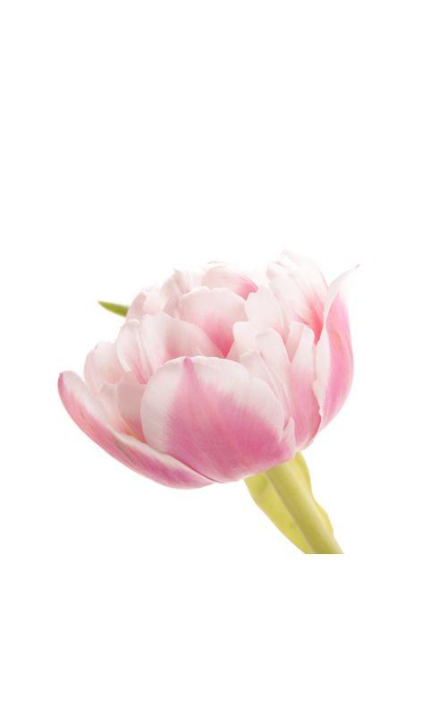 Розово-белый тюльпан