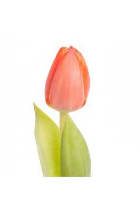 Оранжевый тюльпан оптом