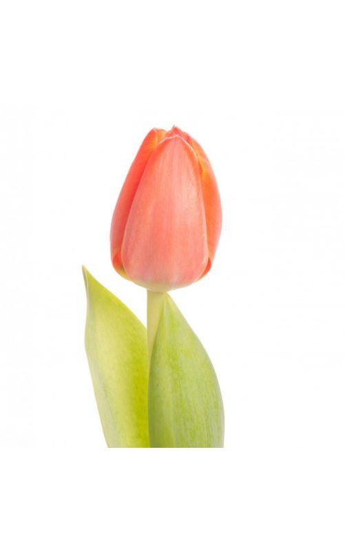 Яркие тюльпаны купить недорого с доставкой
